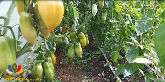 Hàng cà chua lúc lỉu